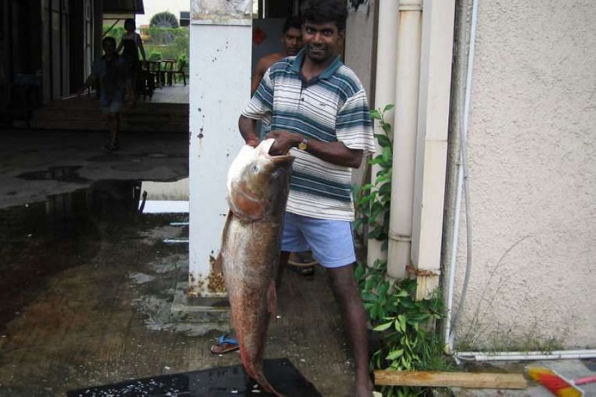 The Song fish, or Asian bighead carp, is one of the two fish types found to contain traces of GBS bacteria. In 2007, the fish were found in the Sungei Kadut canal, and foreign workers living in the area caught them.