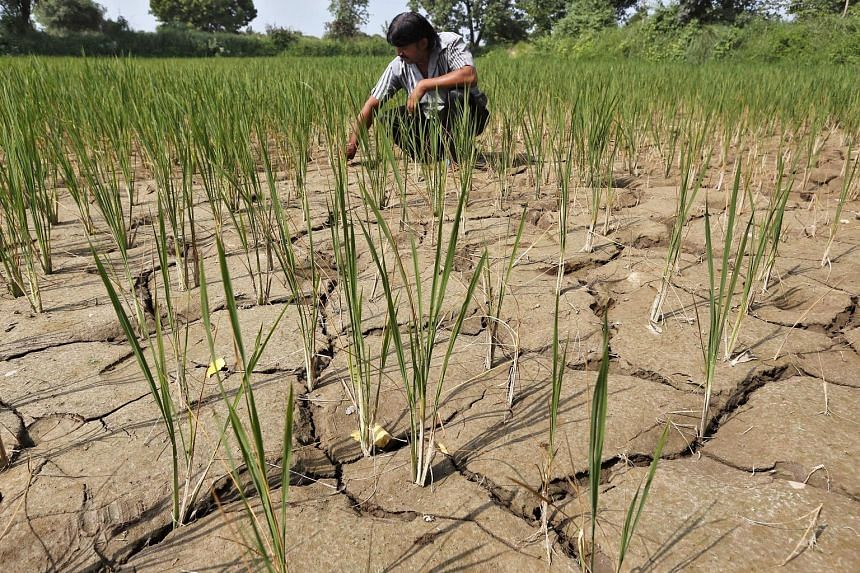 A farmer removing dried plants from his parched paddy fields in India's Ahmedabad. The weather-related damage is most keenly felt in developing economies that are more dependent on farming.