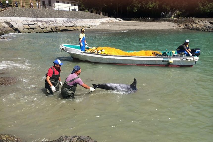 This handout picture taken by Sea Shepherd on Sept 11, 2015 shows fishermen catching a Risso's dolphins at a cove of Taiji.