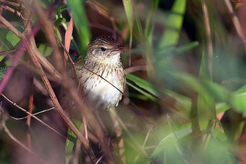 Mr Francis Yap took 30 trips over two months last year to get a shot of this lanceolated warbler, which had stopped over in Punggol.