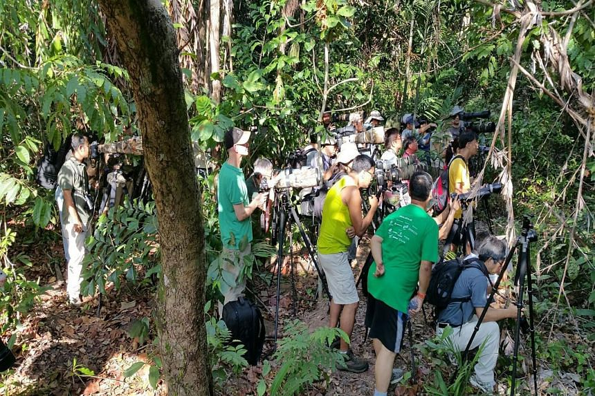 Photographers venturing off the boardwalk at the mangrove area in Pasir Ris Park to take photographs of a juvenile common flameback woodpecker earlier this year.