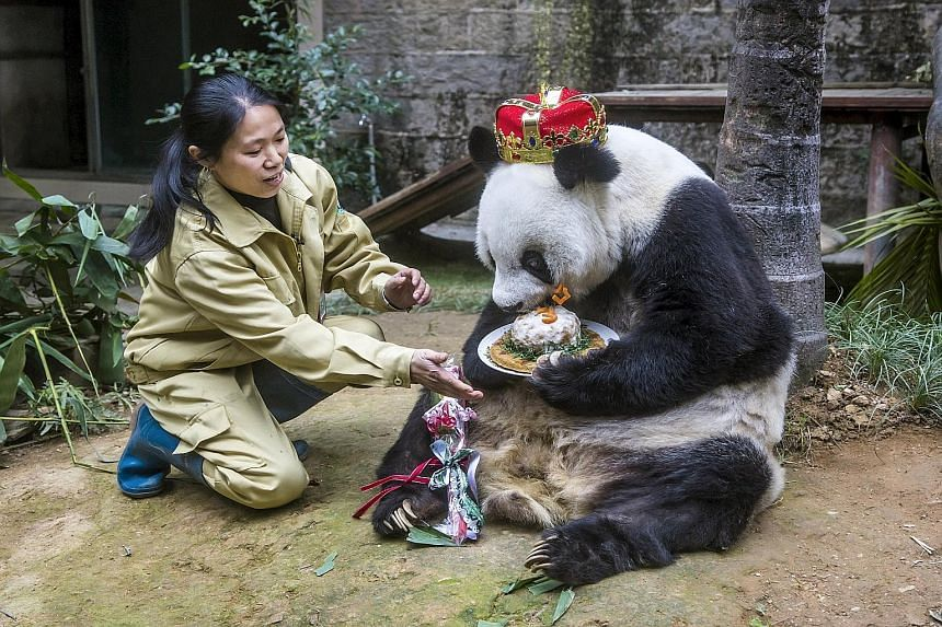 Giant panda Basi eating a cake handed out by a keeper to celebrate its 35th birthday at a research centre in Fuzhou, the capital of China's Fujian province yesterday. Basi is the second-oldest panda in the world, according to panda expert Zhang Guiqu