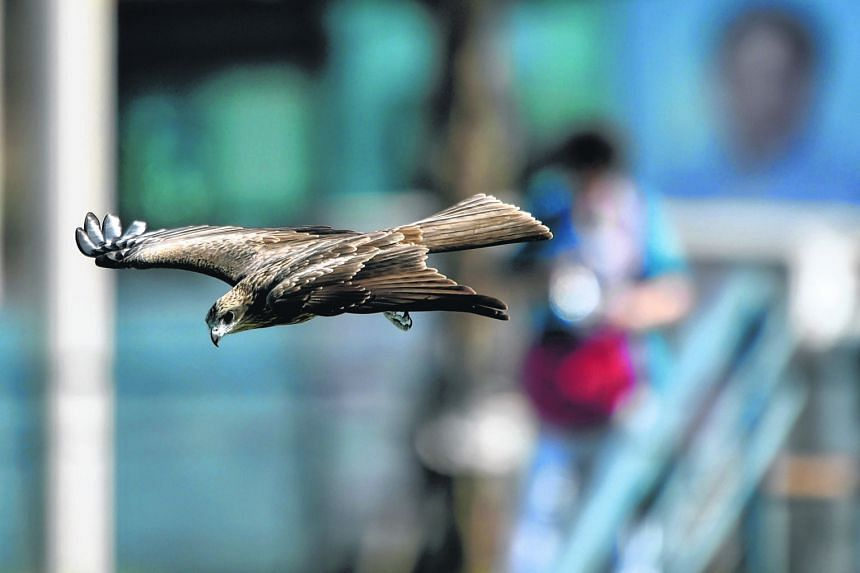 A black kite (Milvus migrans) spotted on Nov 16 near Keelung harbour in Taiwan. The bird is a rare sight on the island and listed as protected, although numbers have doubled to over 400 in the past 25 years. This has drawn more tourists to Keelung in