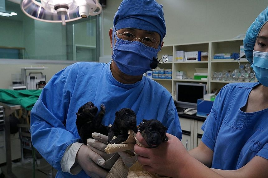 Dr Hwang Woo Suk with three cloned puppies delivered via caesarean section last Monday. After their birth, cloned puppies are kept in cubicles (below) with the surrogates, until they are strong enough to be moved to bigger solo cubicles.