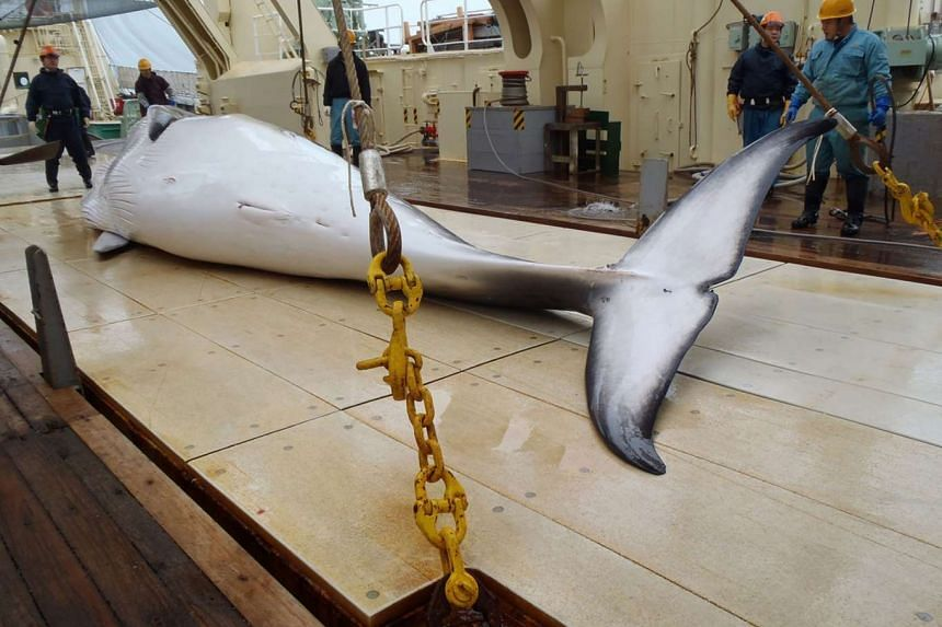 This undated handout picture released from the Institute of Cetacean Research on Nov 18, 2014 shows a minke whale on the deck of a whaling ship for research in the Antarctic Ocean.