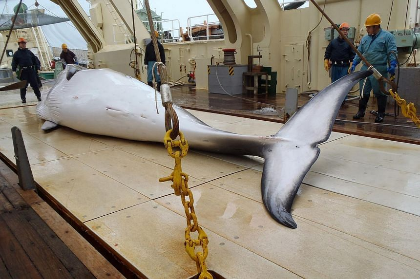 This undated handout picture released from the Institute of Cetacean Research on Nov 18, 2014, shows a minke whale on the deck of a whaling ship for research in the Antarctic Ocean.