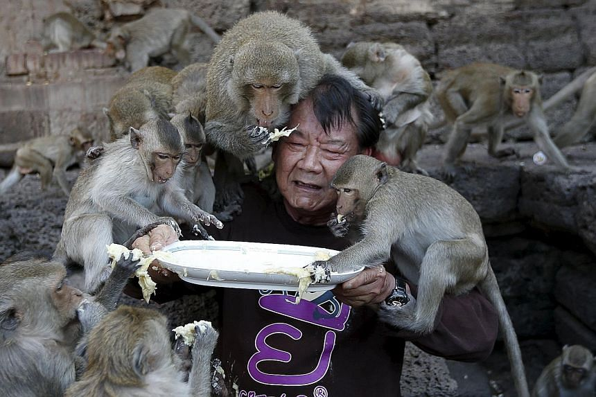 Long-tailed macaques eating fruits from a plate held by festival organiser Yongyuth Kitwattananusorn during the annual Monkey Buffet Festival at the Pra Prang Sam Yot temple in Lopburi, north of Bangkok, Thailand, on Sunday. During the festival, food
