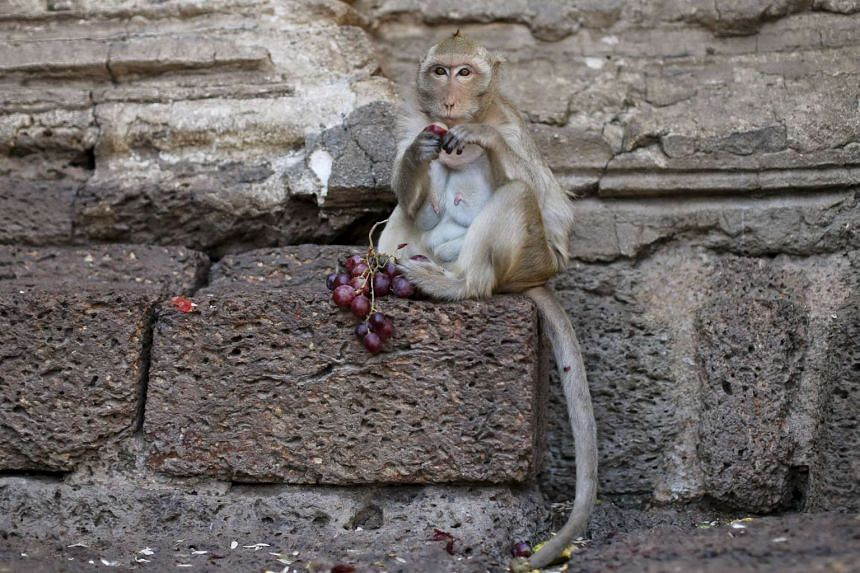 A long-tailed macaque eating fruits during the annual Monkey Buffet Festival.