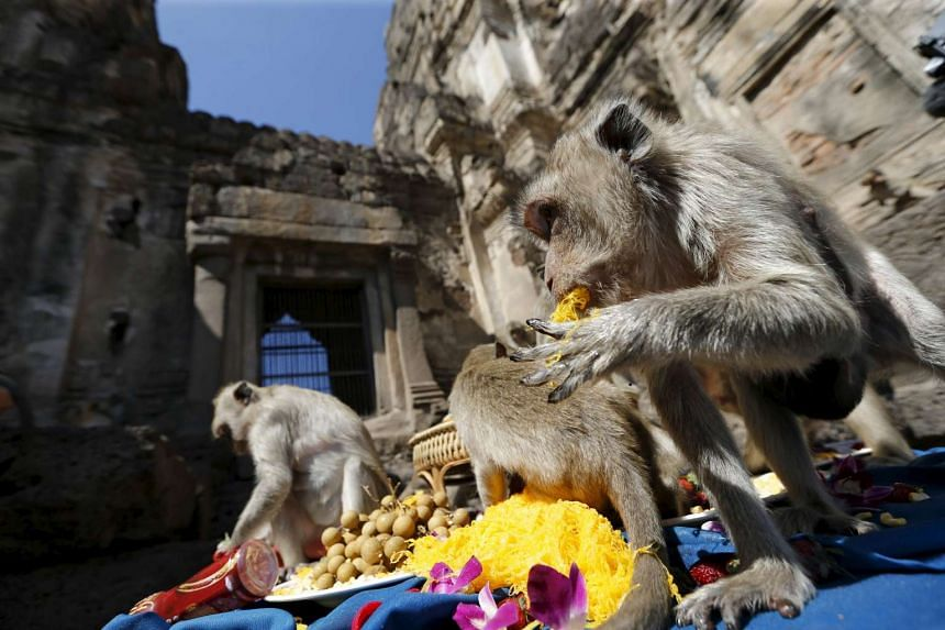 Long-tailed macaques eating fruits during the annual Monkey Buffet Festival.