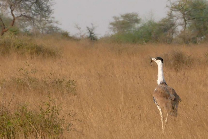 Shrinking space for one of the world's rarest birds: A male Great Indian Bustard with a scorpion in its beak, walks the remaining grasslands of Kutch in western India.