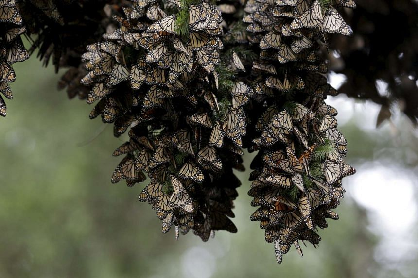 Monarch butterflies resting on a pine tree in Angangueo, Mexico.