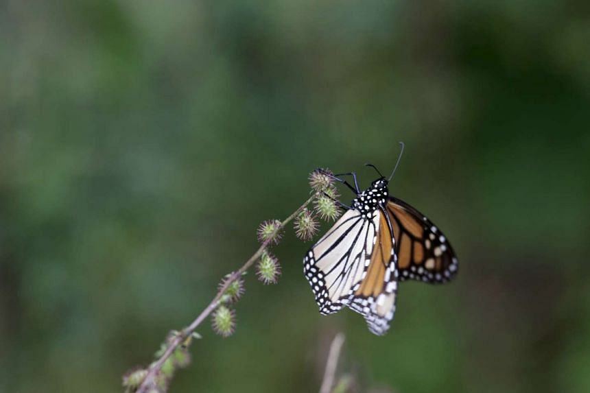 A Monarch butterfly resting on a pine tree in Angangueo, Mexico.