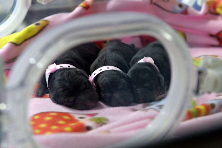 Three cloned puppies in an incubator at a facility in Tianjin, China taken on Sept 24, 2014 and released by Boyalife Group.
