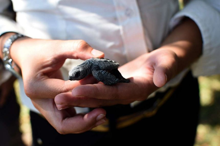 A black turtle hatchling before it was released at a closed beach in Guatemala City on Nov 4, 2015.