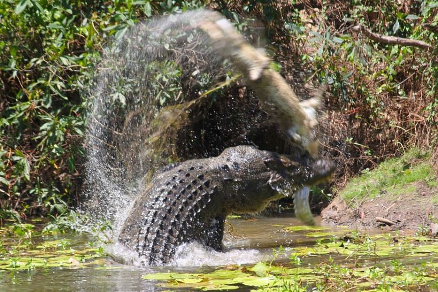 The five-metre long crocodile flinging its smaller adversary into the air.