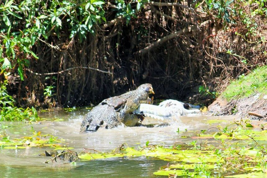 The bigger crocodile feeding on the smaller one's remains.