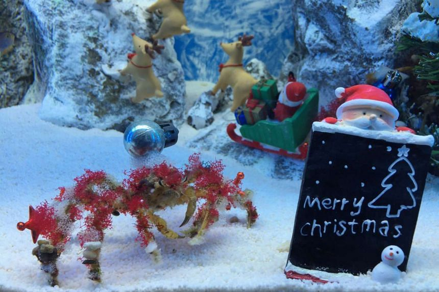 Underwater World Singapore has given its decorator crab enclosure a yuletide feel for the festive season.