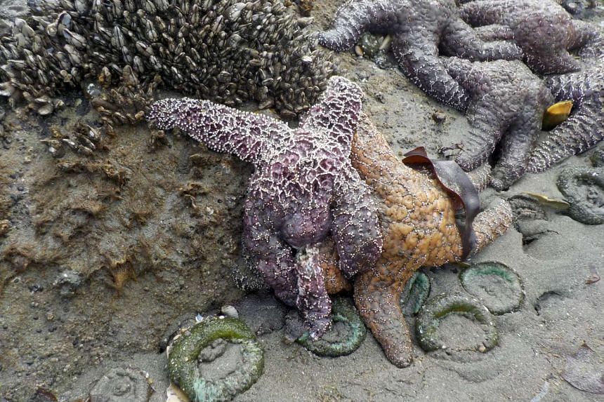 Ochre sea stars, also called starfish, sick with Sea Star Wasting syndrome are seen alongside healthy stars in the Olympic National Park, near Forks, Washington on Saturday,