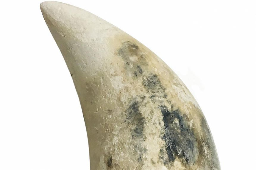This 15.5cm-long tooth from a sperm whale was found in the Sisters' Islands Marine Park last month, making it the second find related to the marine mammal this year.