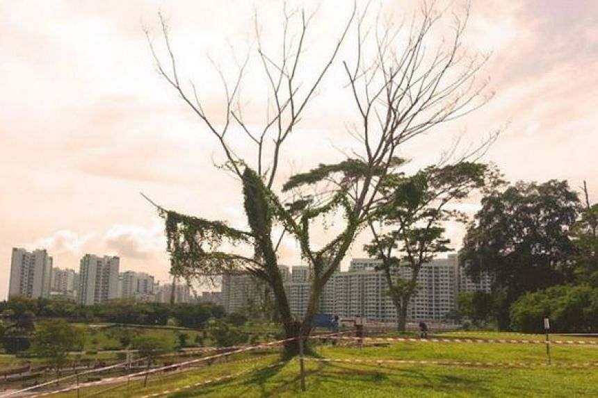 Punggol's #instagram tree will be removed on Dec 16 in the interest of public safety.