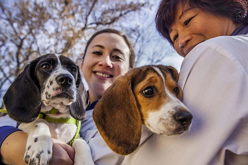 Researchers Jennifer Nagashima (far left) and Nucharin Songsasen with some of the puppies conceived through in-vitro fertilisation and born in July this year. Two of the puppies are from a beagle mother and a cocker spaniel father, and the remaining