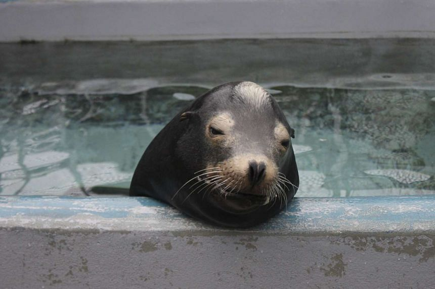 California sea lion Blarney McCresty, that was treated for domoic acid toxicity, is seen during his rehabilitation at the Marine Mammal Center in Sausalito, California.