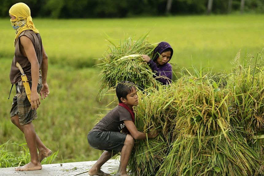 Filipino farmers rush to harvest rice in the town of Gumaca, south of Manila on Dec 14, 2015.