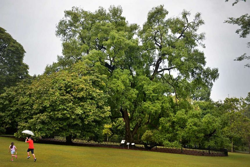 A family playing in front of the iconic Tembusu tree in the Singapore Botanic Gardens.