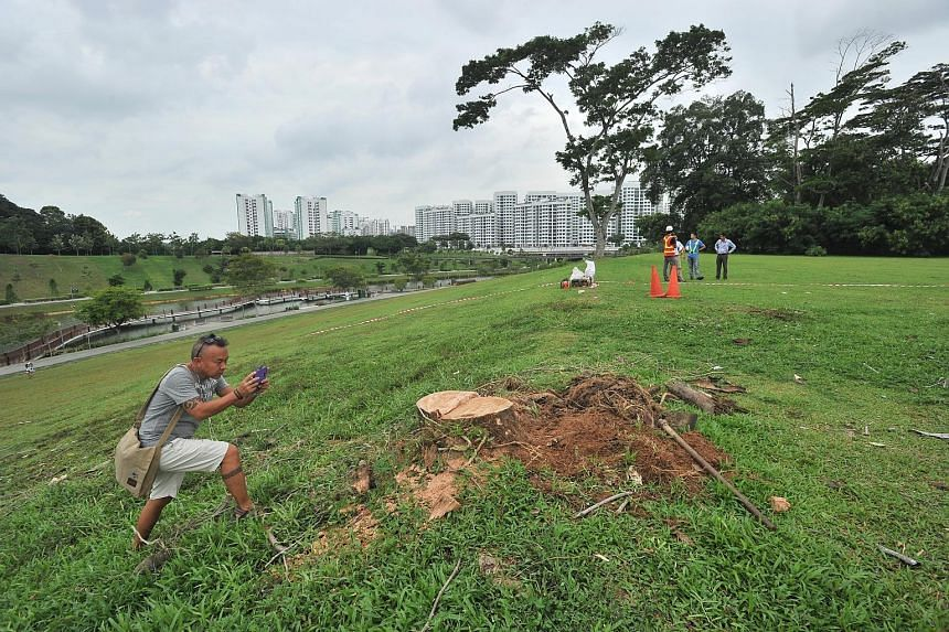 """The """"Punggol Lone Tree"""" (top) being removed yesterday following public safety concerns. It has featured in many Instagram photos but was struck by lightning in July, losing half of its branches. Mr Ogawa Konamoto (above), 42, was one of those who tur"""