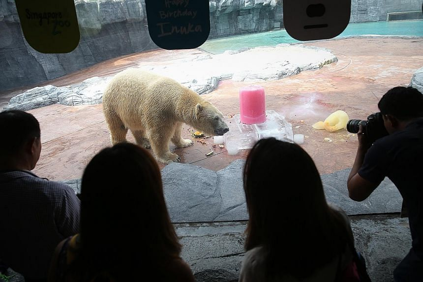 "Singapore-born Inuka, the first polar bear born in the tropics, with its birthday ""cake"" - made of ice blocks, whipped cream and fruit - yesterday. Polar bears in captivity live an average of 25 years, although with proper care, they can live much lo"