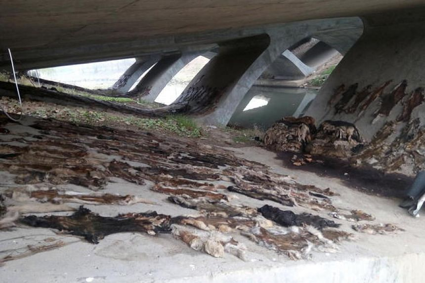 The hundreds of dog pelts under a bridge in Hefei, China.