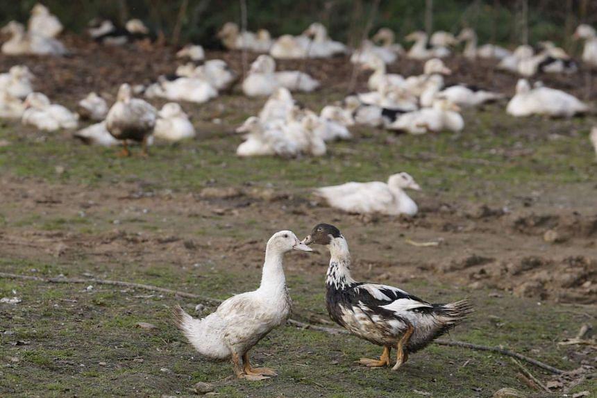 Ducks are seen in a poultry farm in Doazit, Southwestern France.