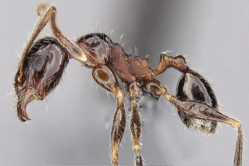 This is a specimen of pheidole indica, an ant species from Asia that has been spreading across the globe under the name pheidole teneriffana. A century-old mystery surrounding the origin of this invasive ant species was recently solved by an internat