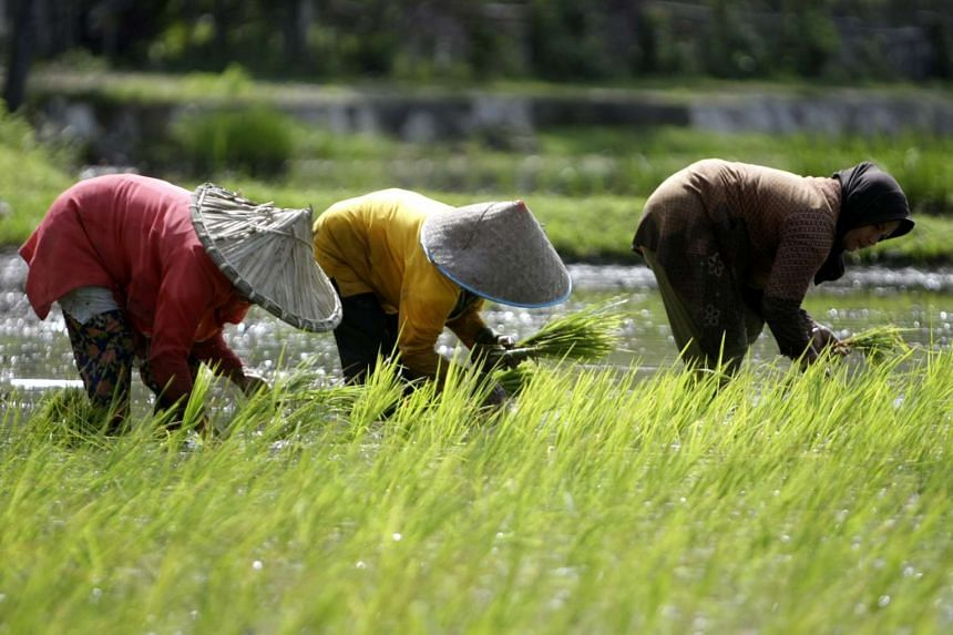 Farmers plant rice crop on the rice field in a traditional way by hand in Aceh, Indonesia.
