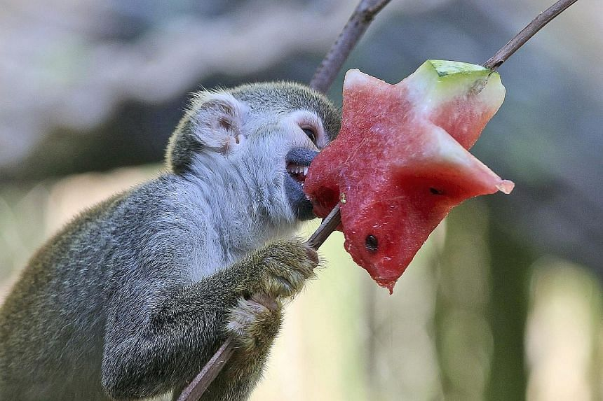 A Squirrel monkey, the Saimiri Sciureus, is seen here enjoying a star-shaped piece of watermelon at an enclosure in Cali Zoo, Colombia, on Monday. As the animals are suffering from a heatwave in the region, they very much fancy having juicy fresh fru