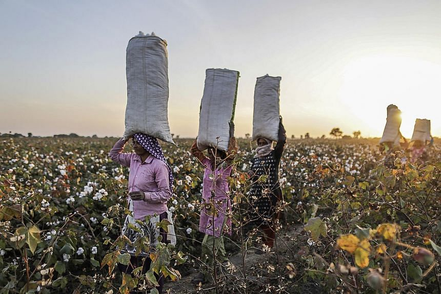Workers carrying hand-picked cotton in Gujarat, India. Cotton is one of the commodities Noble Agri deals in besides coffee, cocoa, grains and sugar. Cofco, one of China's leading providers of agricultural products and diversified food services, now o