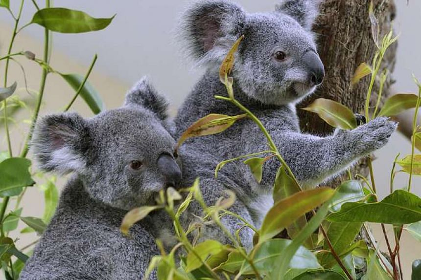 Attend the Singapore Zoo's farewell party for the koalas.