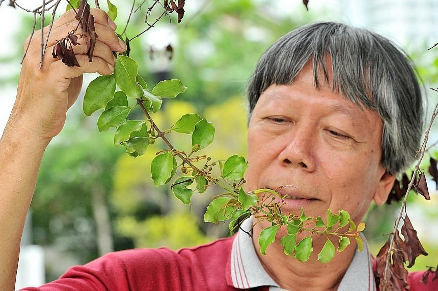 Mistletoe enthusiast Francis Lim with the Taxillus chinensis, which can be found in the East Coast of Singapore. Mistletoes are semi-parasitic plants that grow on a host, usually a tree or shrub. Although they can photosynthesise to make their own fo