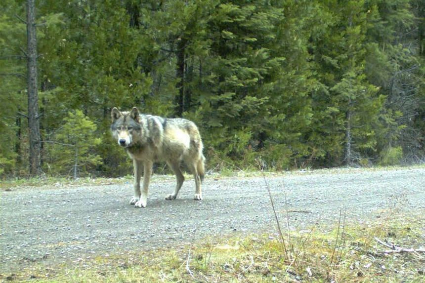 A grey wolf is caught on a remote camera in the Siskiyou National Forest in Oregon in the United States.