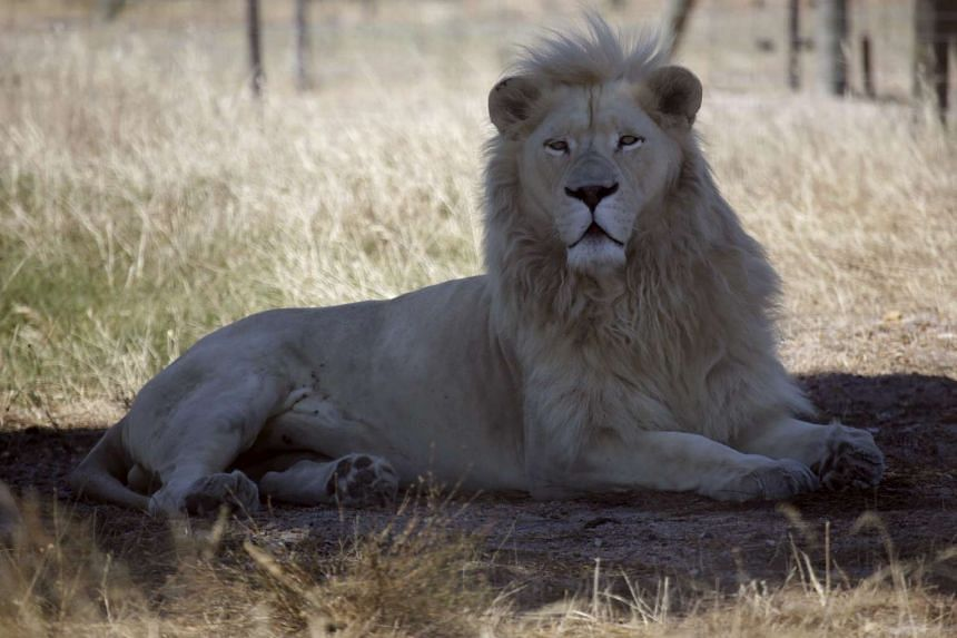 """A white lion named Brutus is seen at the Drakenstein Lion Park near Cape Town on Dec 29, 2015. Brutus, who fathered three """"miracle"""" cubs despite having had a vasectomy in his youth, is going back to the vet to have the operation a second time."""