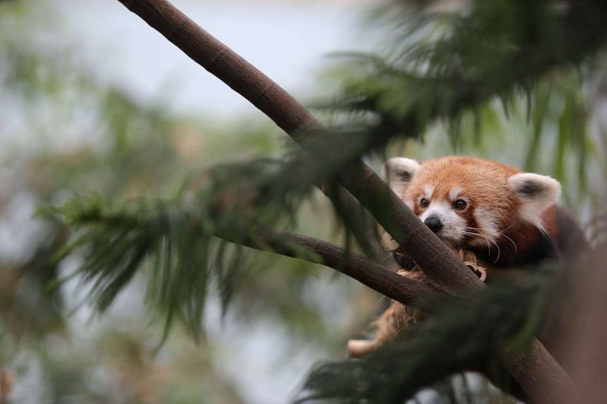 A Japanese zoo scrambled all of its staff on Thursday (Dec 31) to track down a missing red panda.