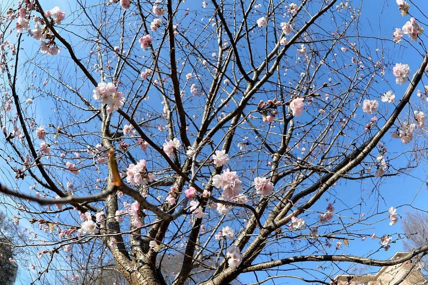 A tree flowering due to warm winter temperatures in Italy on Dec 27, 2015.