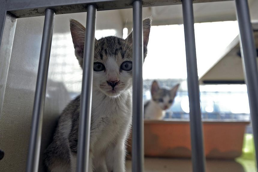 Cats at the Society for the Prevention of Cruelty to Animals (SPCA) compound at Mount Vernon Road.