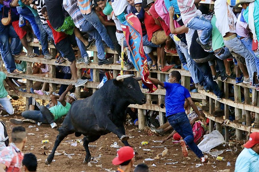 Participants in a corraleja, a traditional amateur bullfight in Turbaco, a town close to Catagena, Colombia. The bullfight, part of a traditional local festival, has ignited public debate in the past few years on traditions involving animal cruelty.
