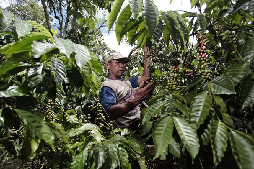 A worker picks Robusta coffee berries at a plantation in Tanggamus in Indonesia's Lampung province.