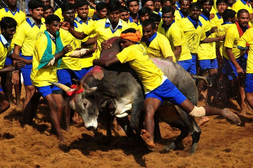 Indian participants attempting to hold down a bull during the traditional bull taming festival called 'Jallikattu' in Palamedu on Jan 15, 2013.