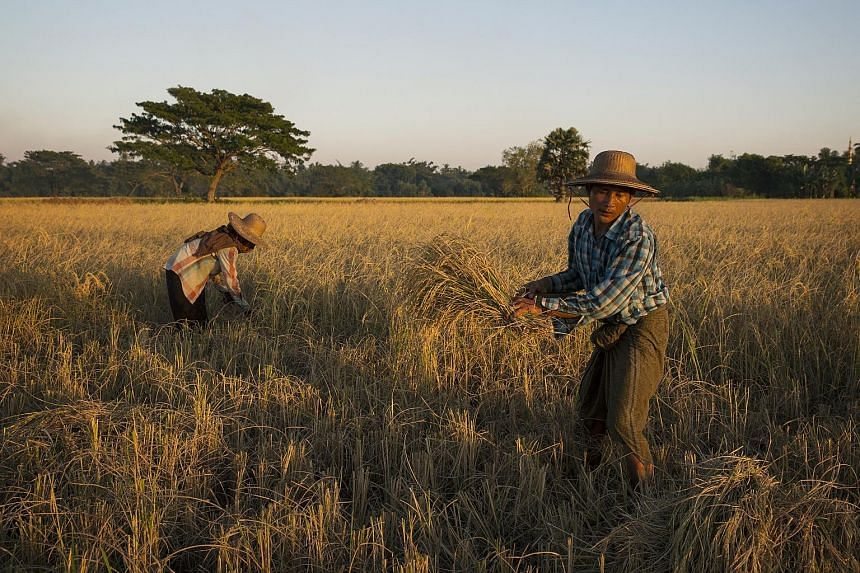 Rice being harvested in a village. The study found that droughts cut a country's crop production by 10 per cent and heatwaves by 9 per cent, but that floods and cold spells had no effects on production levels.