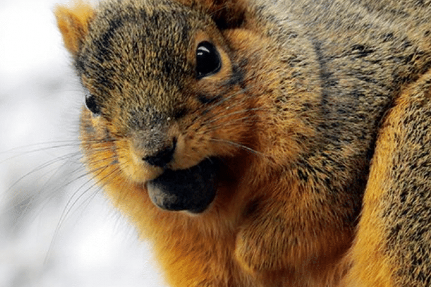People are posting pictures of tubby squirrels on social media.