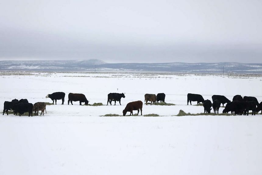 Cattle feed in a pasture near the Malheur National Wildlife Refuge near Burns, Oregon, Jan 10, 2016.