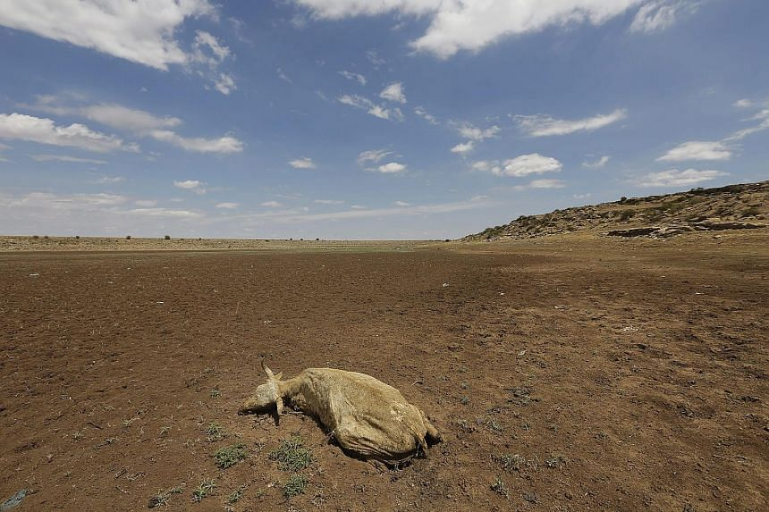 A dead cow lies in an empty water supply dam in Senekal, South Africa, yesterday. The rural farming town last saw rain on Dec 15 and has had a severe water shortage for the past three months, with residents having to queue for water at hand-out point